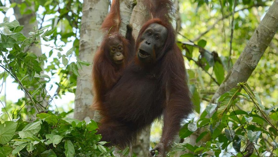 Releasing rescued orangutans into the wild doesn't boost populations