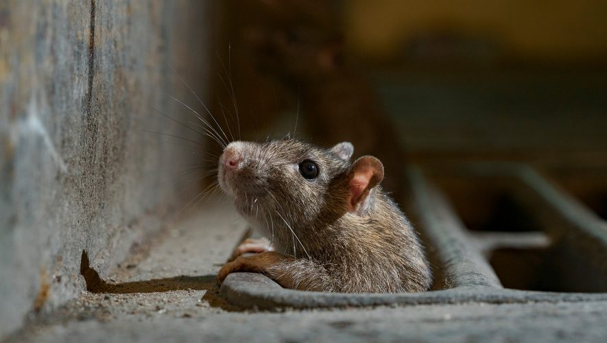 Rats come out of hiding as lockdowns eliminate urban trash